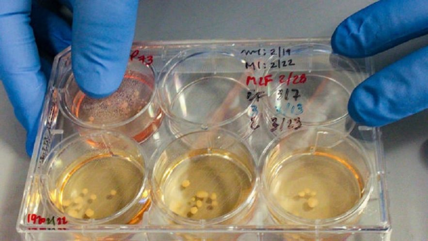 mini cerveaux neandertal in vitro