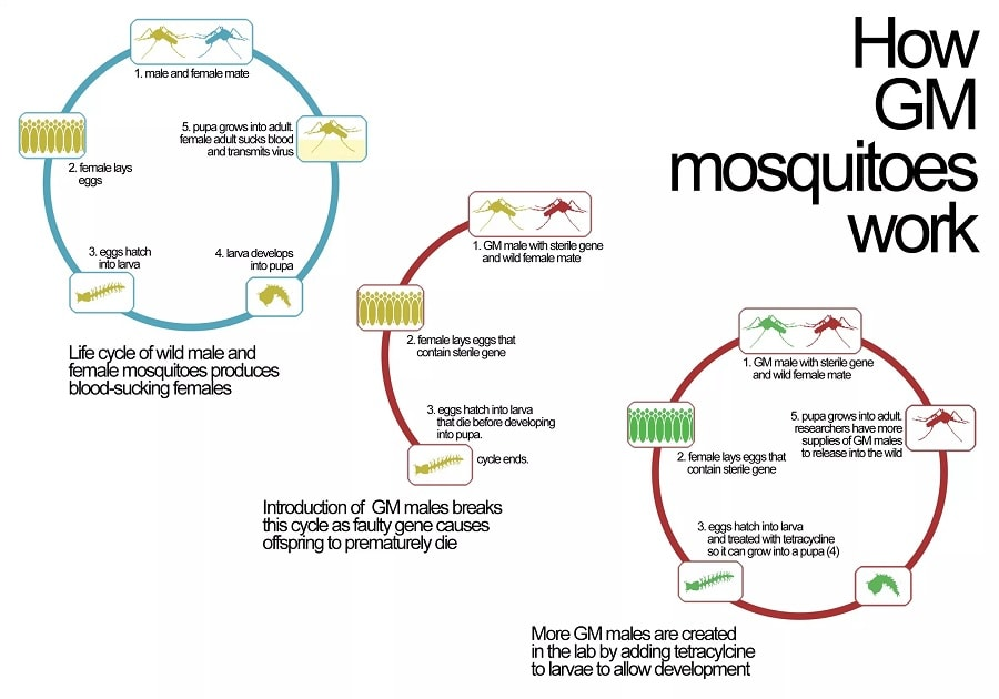 moustique ogm