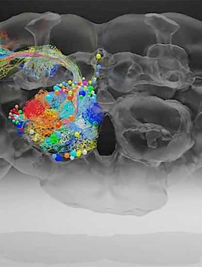 cerveau drosophile microscope electronique