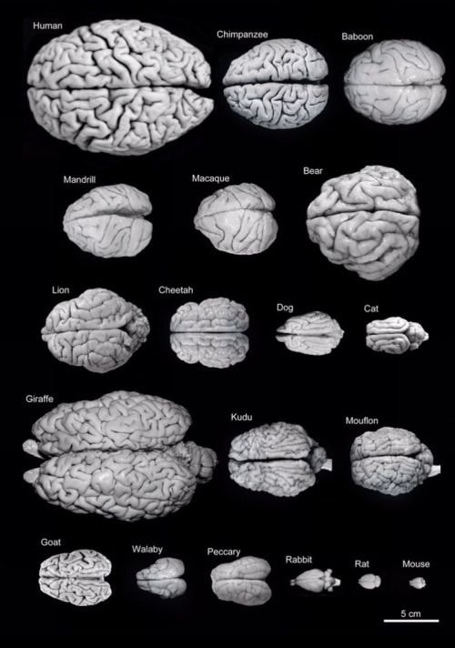 comparaison cerveaux humains animaux