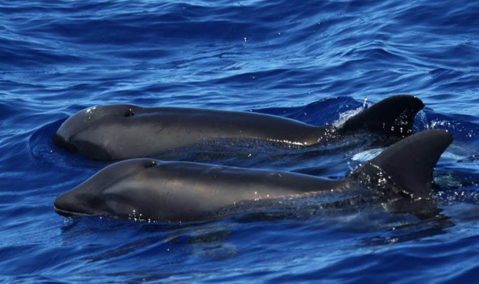 dauphin hybride mammifere baleine cetace hawaii