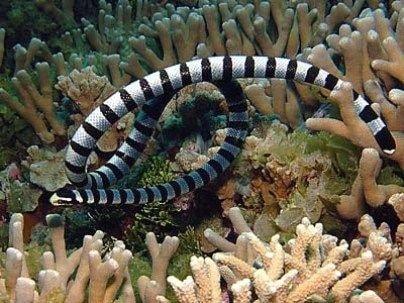 Hydrophis belcheri serpent venin toxine