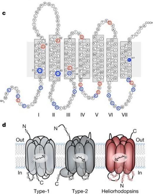 heliorhodopsine proteine photosensible