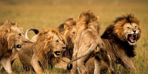 lions braconniers afrique rhinocéros