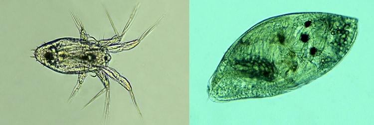 parasite larves nauplius cypris