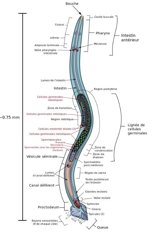 nematode anatomie preservation cryogenique