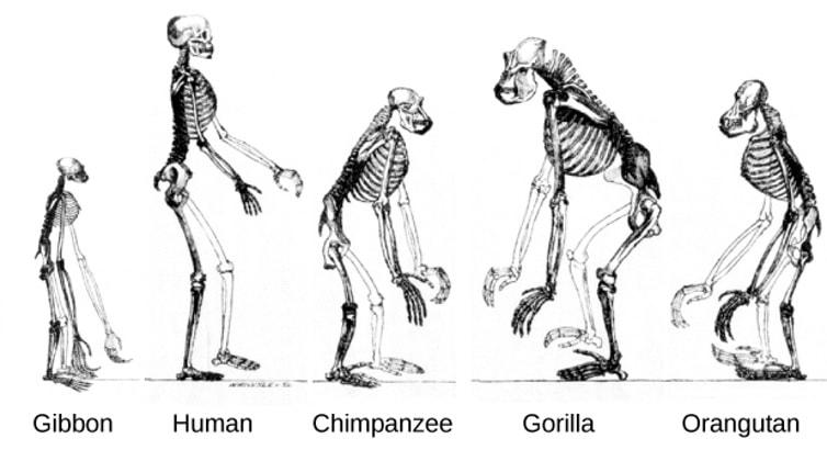 primates cerveaux humain