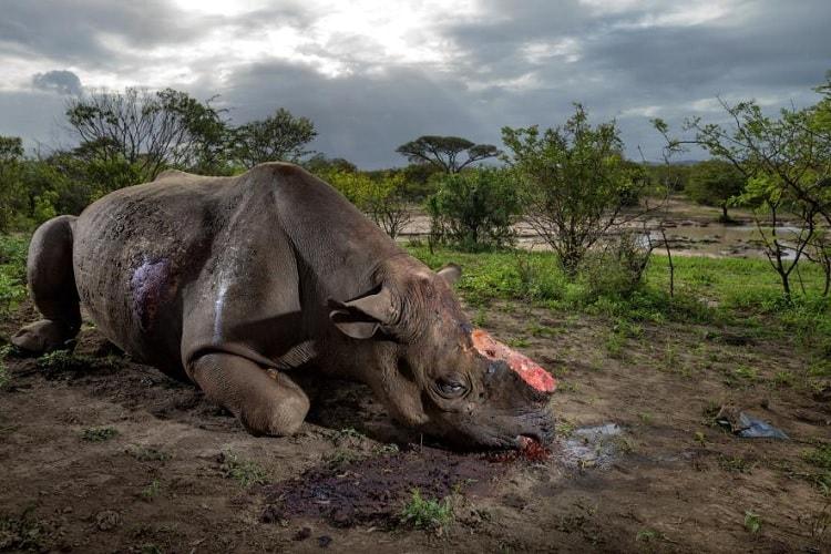 rhinoceros corne braconnage afrique