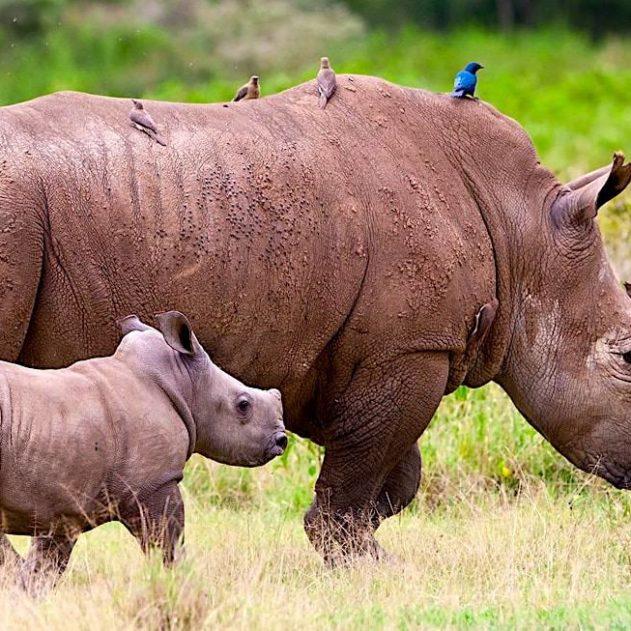 rhinoceros avec petit australie introduction