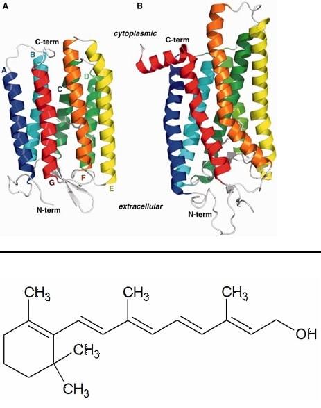 rhodpsine retinal proteine vitamine A vision