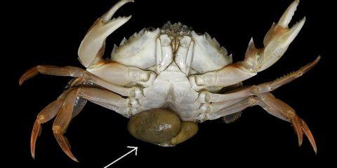 sacculine parasite crabe
