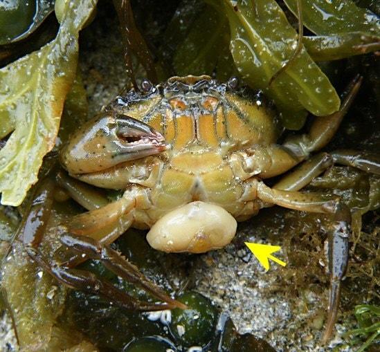 sacculine parasite crabe externa