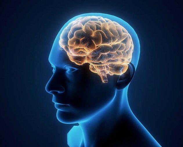 taille cerveau humain homme