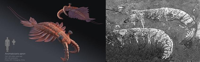 fossile anomalocaris burgess