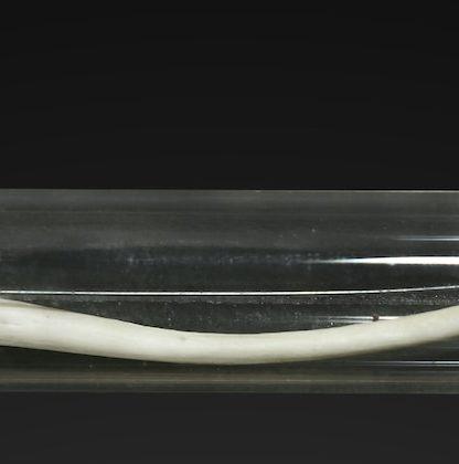 baculum macaque humain disparu