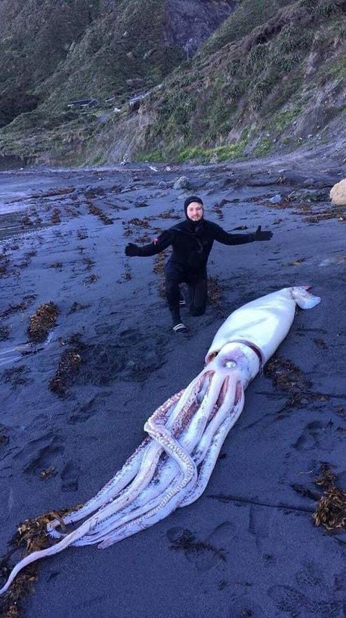 calamar geant nouvelle zelande