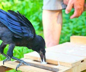 corbeau pose dechet dans double tiroir parc puy du fou