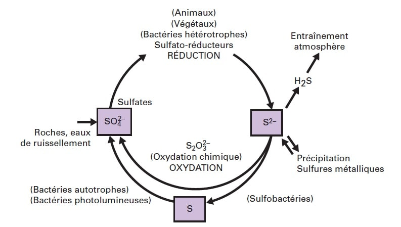 cycle soufre bacteries
