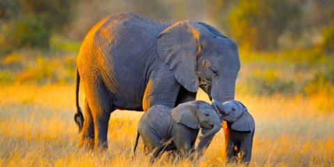 elephant supression cancer pseudogenes