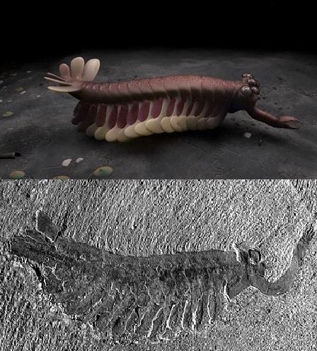 fossile opabinia burgess