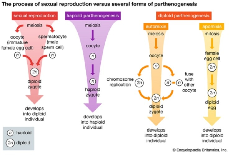 parthenogenese mecanisme haploide diploide