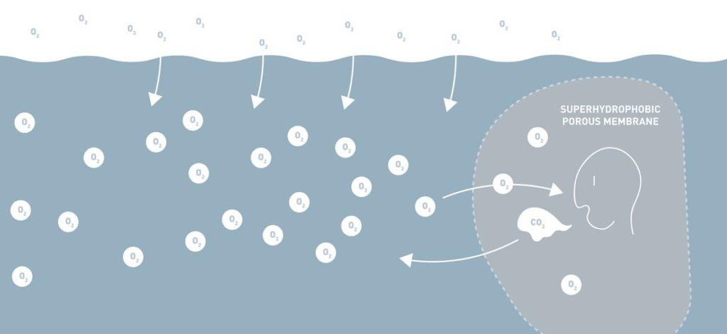 plastron respiration amphibio fonctionnement