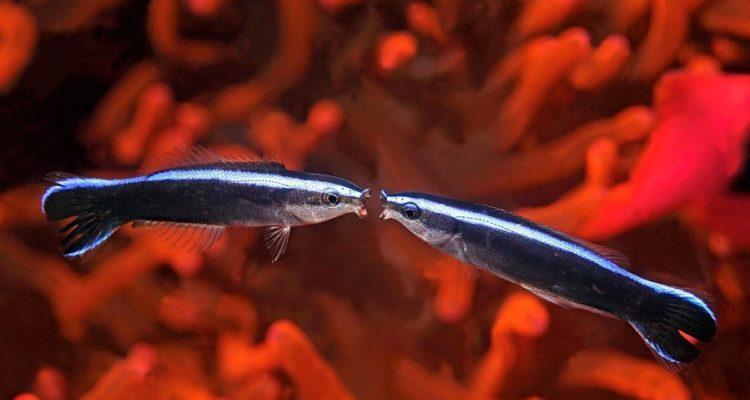 poisson labre test miroir