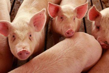 porc poumon don organe