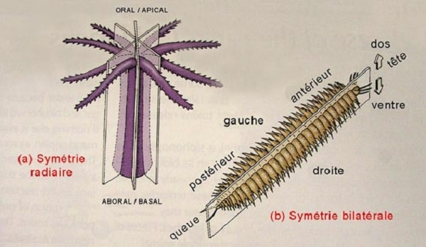 symetrie radiaire bilaterale animaux
