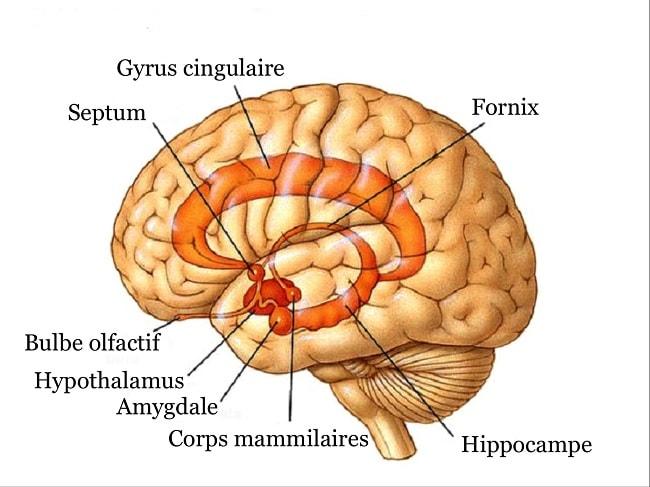 systeme limbique humeur comportement