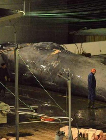 baleine bleue hybride capture