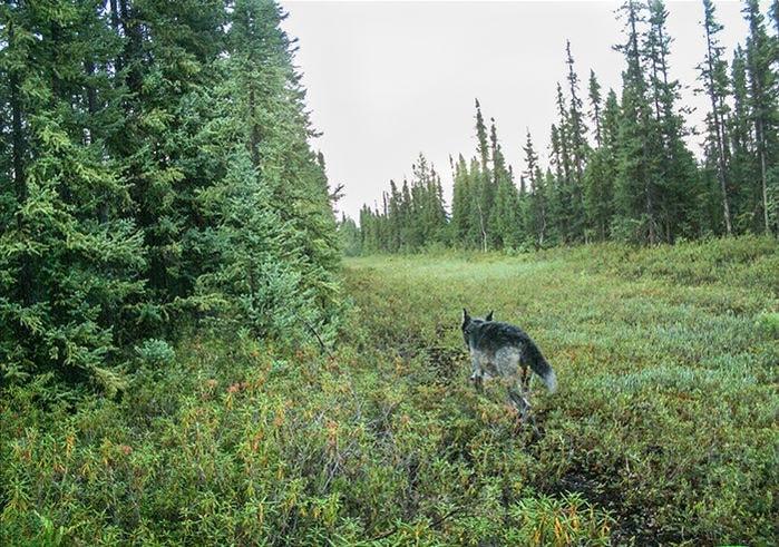 deforestation petrole caribou loup