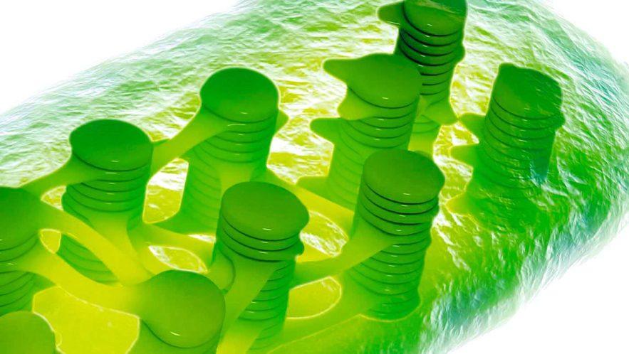 chloroplaste organite photosynthese