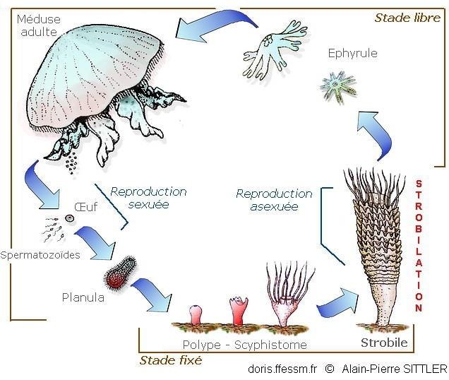 cycle vie hydrozoaires