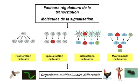 transdifferenciation facteurs regulateurs transcription