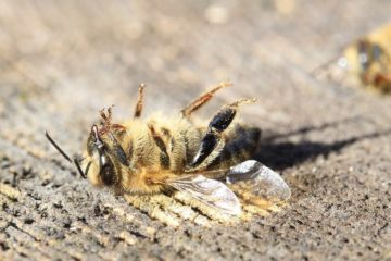 glyphosate herbicide declin abeilles