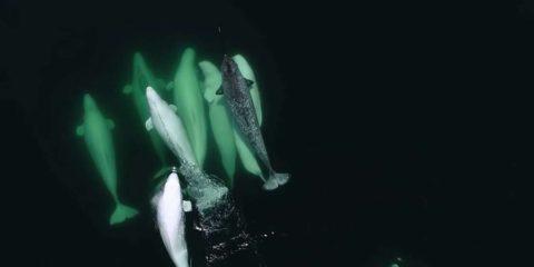 narval perdu belugas saint-laurent