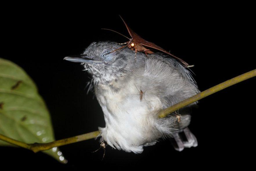 papillon de nuit lachryphagie larmes oiseau