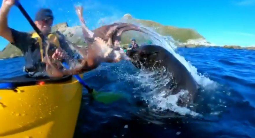 phoque otarie pieuvre chasse gifle kayak