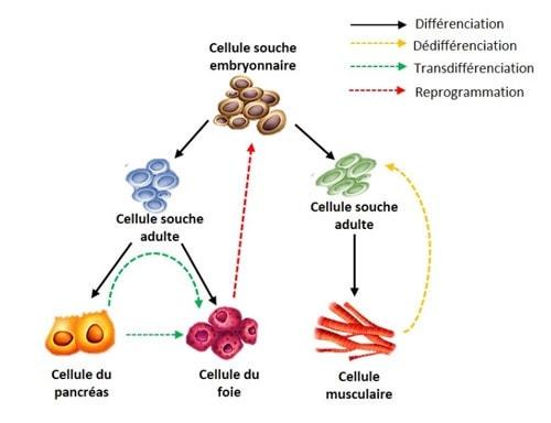 processus cellulaires cellules souches