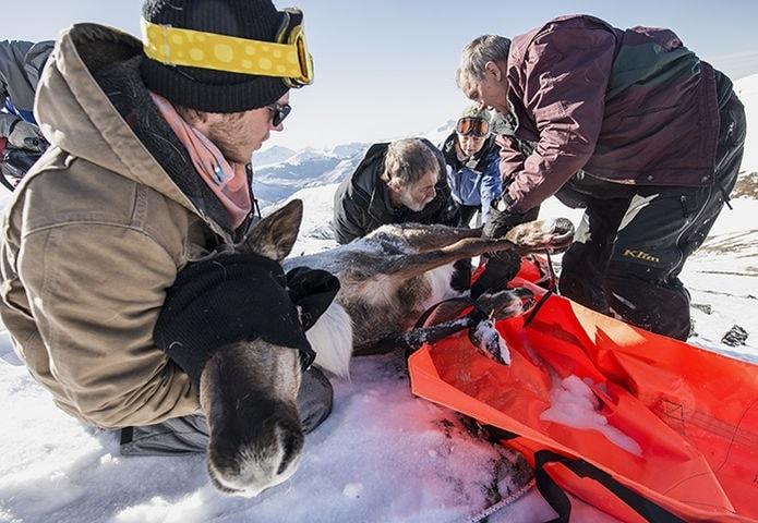 sauvetage femelle caribou