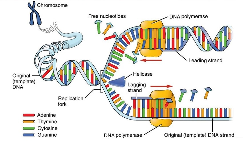 adn polymerase replication