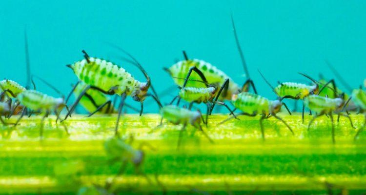 armee insecte virus modifie protection plante