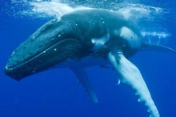 baleine bosse 911 appel effrayee femme bateau observation