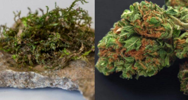 cannabis THC hepatique PET