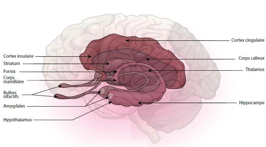 cerveau striatum genes qi