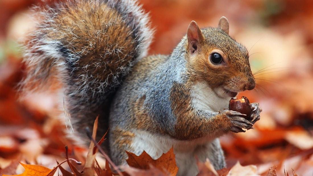 cerveaux ecureuils maladie