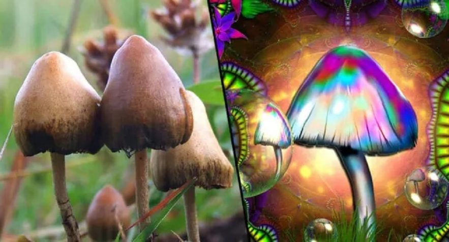 champignons hallucinogenes capacites cognitives
