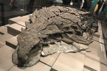 fossiles palontologie dinosaure borealopelta
