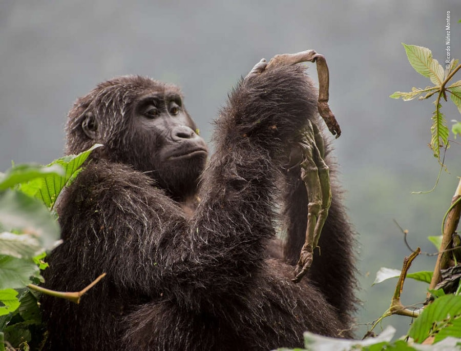 gorille femelle bebe